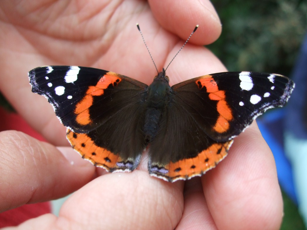 photo, red admiral on Leonoor's hand