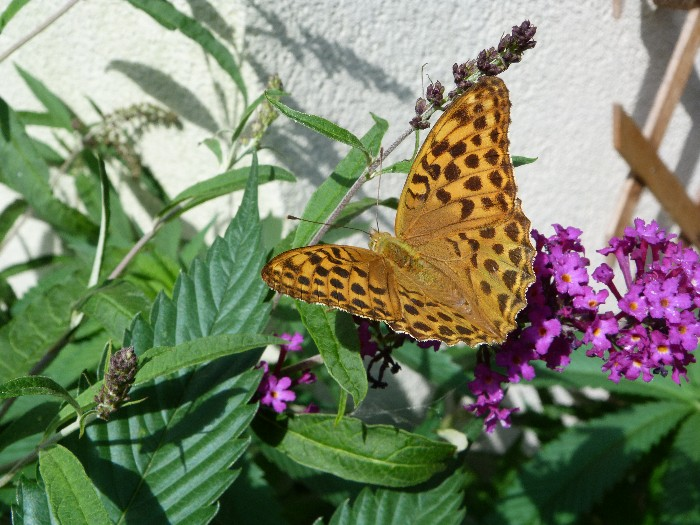 photo, silver-washed fritillary in our garden tuin on the 6th of August 2013