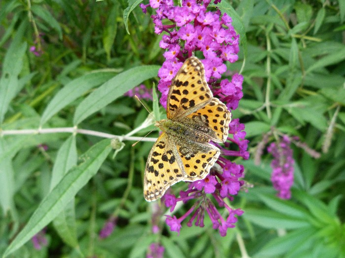 photo, Queen of Spain fritillary