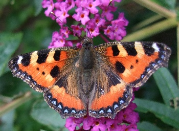 photo from the small tortoiseshell, an orange butterfly, made in our garden